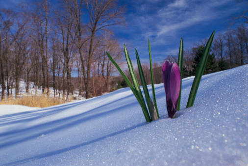 source: https://warrenlawson.files.wordpress.com/2012/08/crocus-snow.jpg