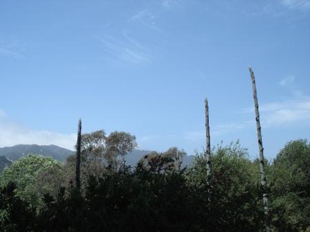 century plants